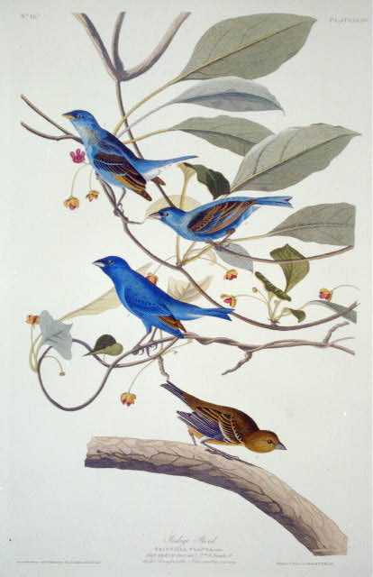 john james audubon, blue birds