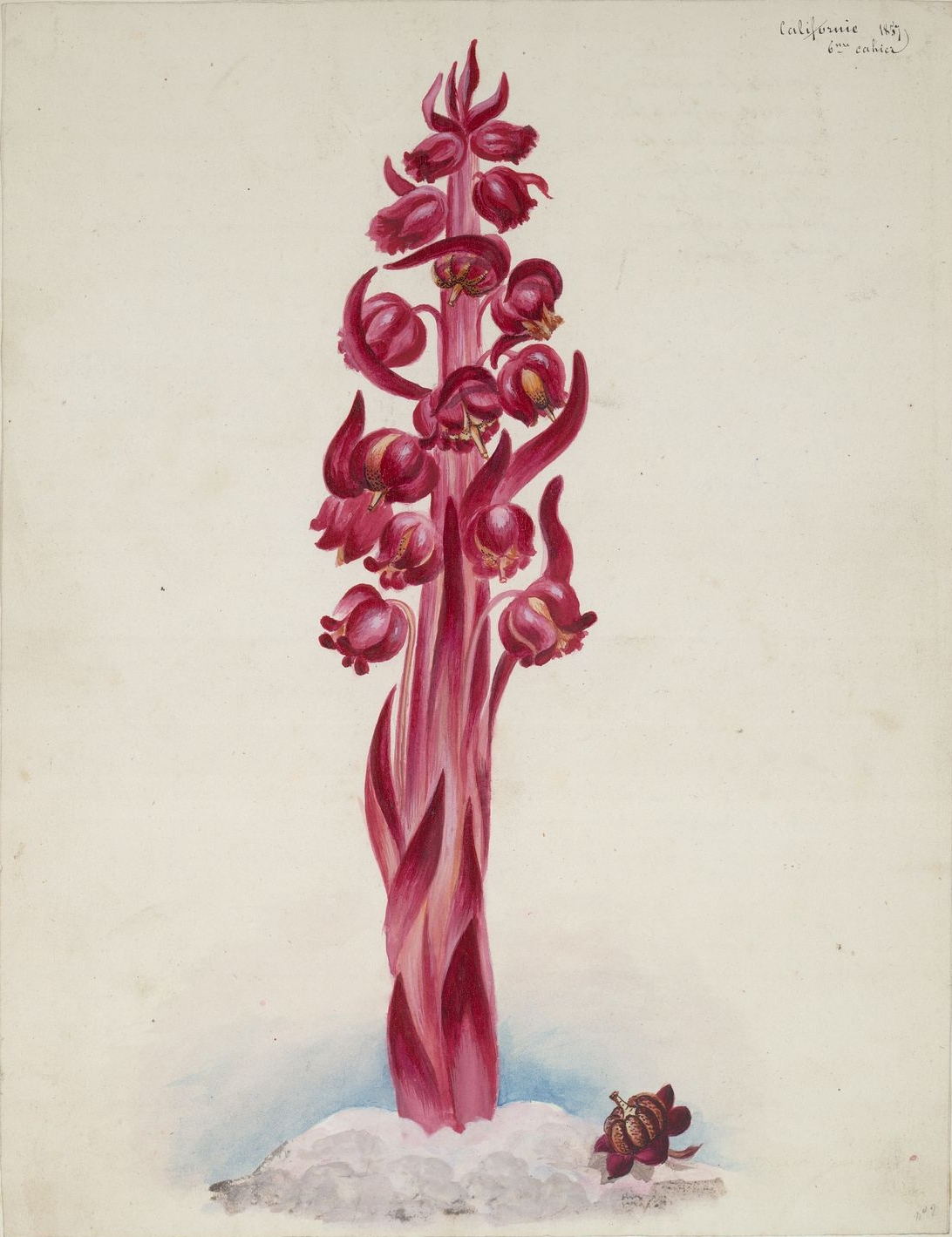 california snow flower, botanic illustration