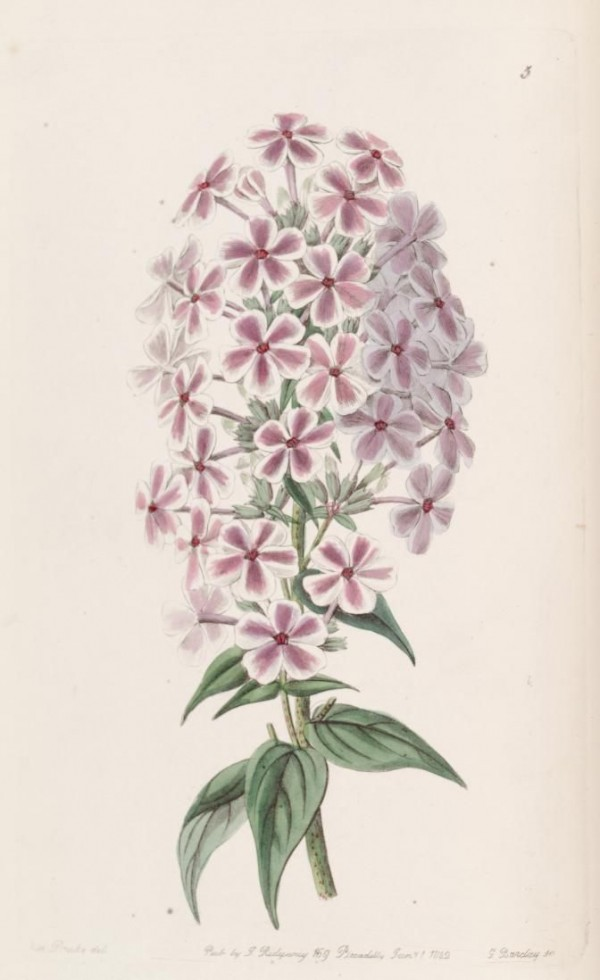 Edwards's botanical register, design squish blog