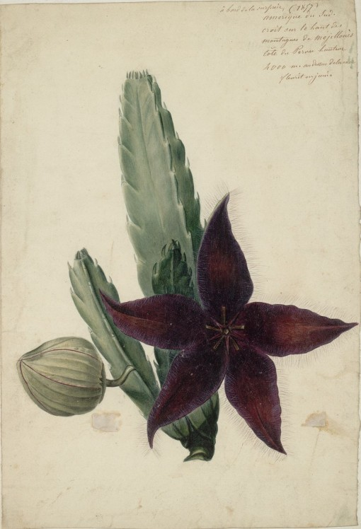 peruvian flowering cactus, botanic illustration