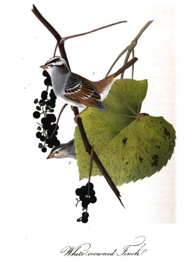 john james audubon, finch bird scientific illustration