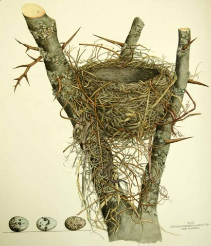 cornell library of ornithology bird nest illustration