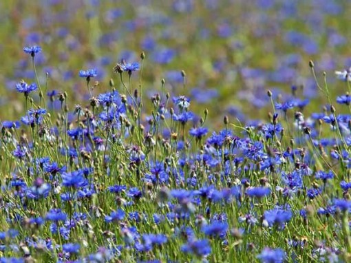 blue cornflower field