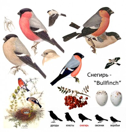 bullfinch snegir bird of eurasia, russia