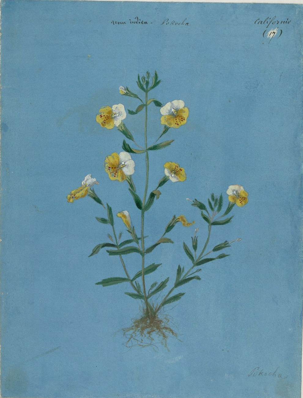 clifornia flowering plant, botanic illustration