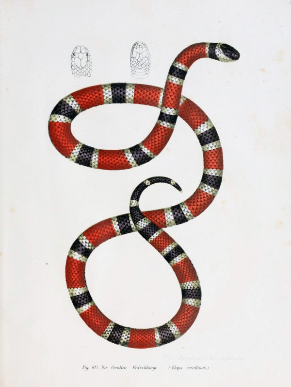 coral snake, scientific illustration, design squish blog
