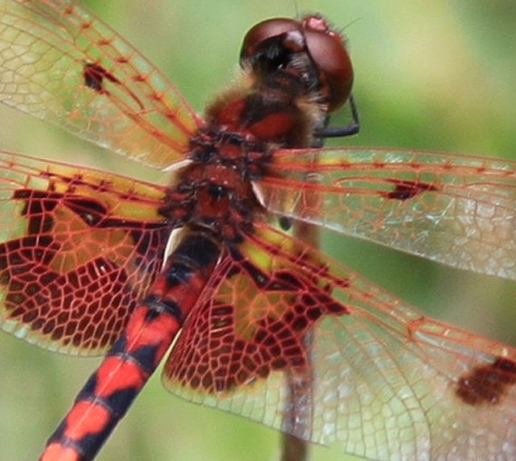 dragonfly, macrophotography, zoom lens, design squish blog