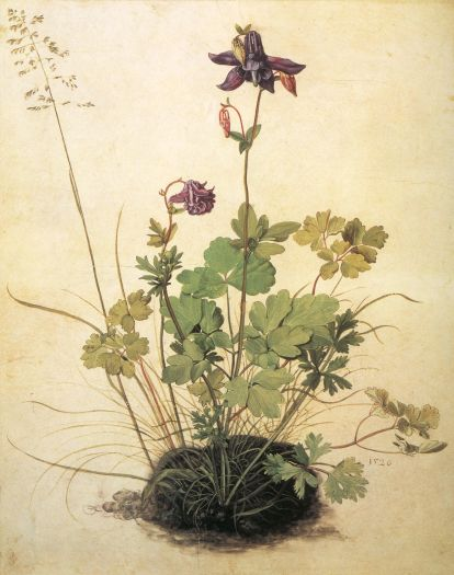 albert durer drawing, botanic illustration