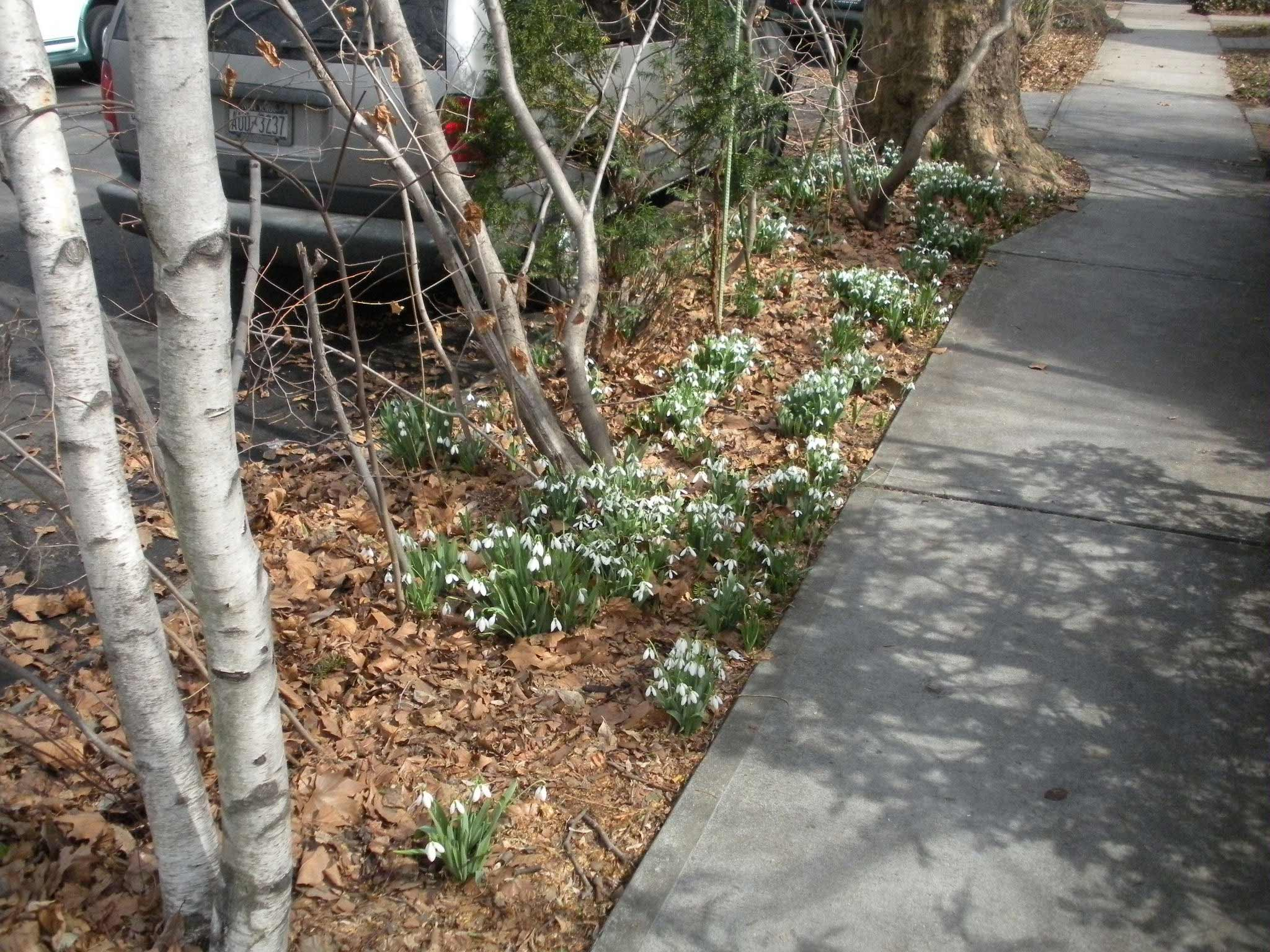 first after snow flowers in Ditmas Park, Brooklyn