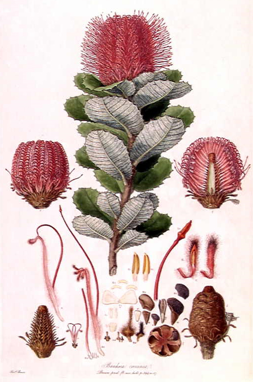 lower illustration, botanical, Ferdinand Bauer