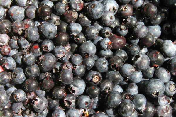 blueberries, huckleberries, design squish blog