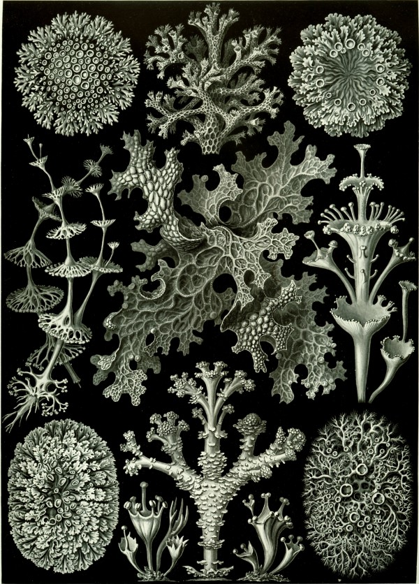 lichen illustration by haeckel, design squish blog