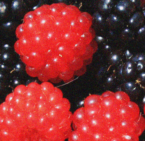 wild salmon berriea and blackberries, design squish blog