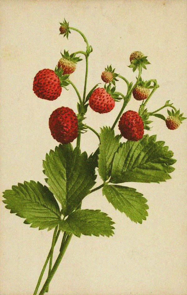Wild Strawberry Vine That wild strawberry has