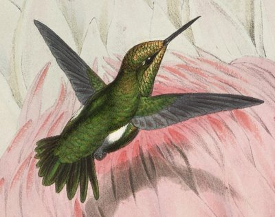 hummingbird, scientific illlustration, detail