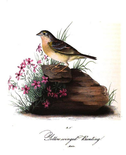 john james audubon scientific illustration