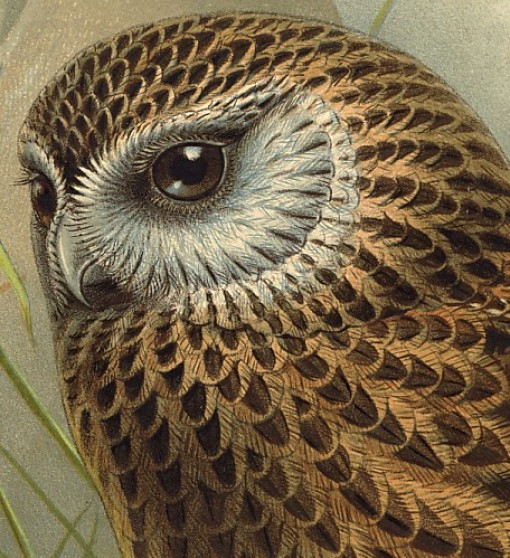 laughing owl, birds of new zealand, design squish blog