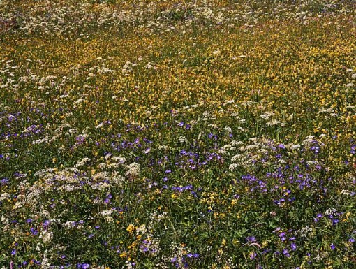 alpine wildflowers, lawrence beck, contemporary photography, design squish blog