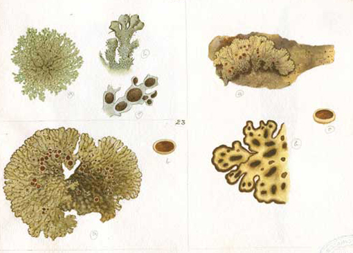 lichen, botanical illustration