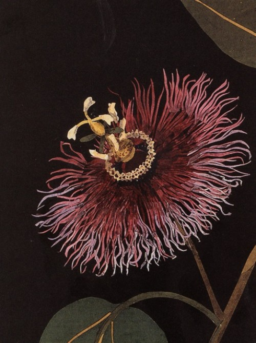 mary delany, botanical illustrations, passion flower illustration, design squish blog
