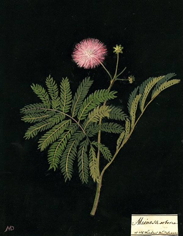 mary delany, botanical illustrations,  design squish blog