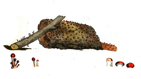 mushrooms of england, scientific illustration