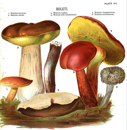 mushroom illustration, podosinoviki
