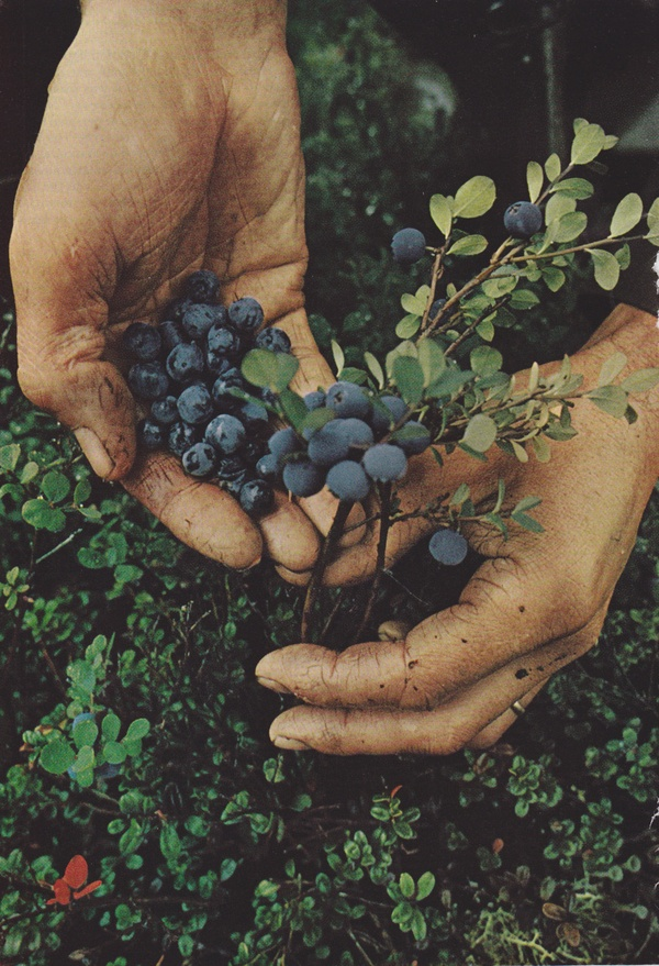 national geographic, bluberry picking, design squish blog