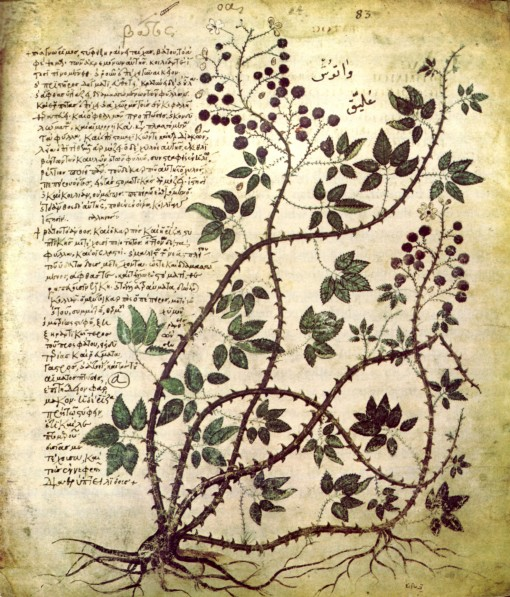 old botanical illustration, grape wine, Codex Anitia Juliana