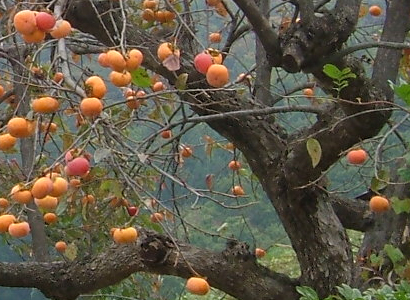 american persimmon