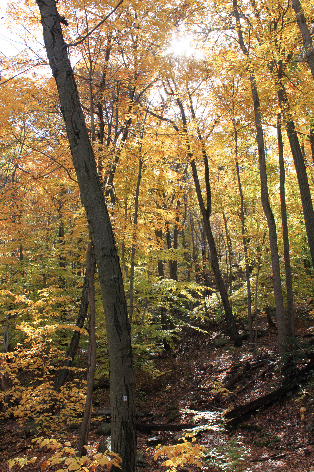 autumn yellow trees, hiking in  upstate new york, pine meadow lake , design squish blog