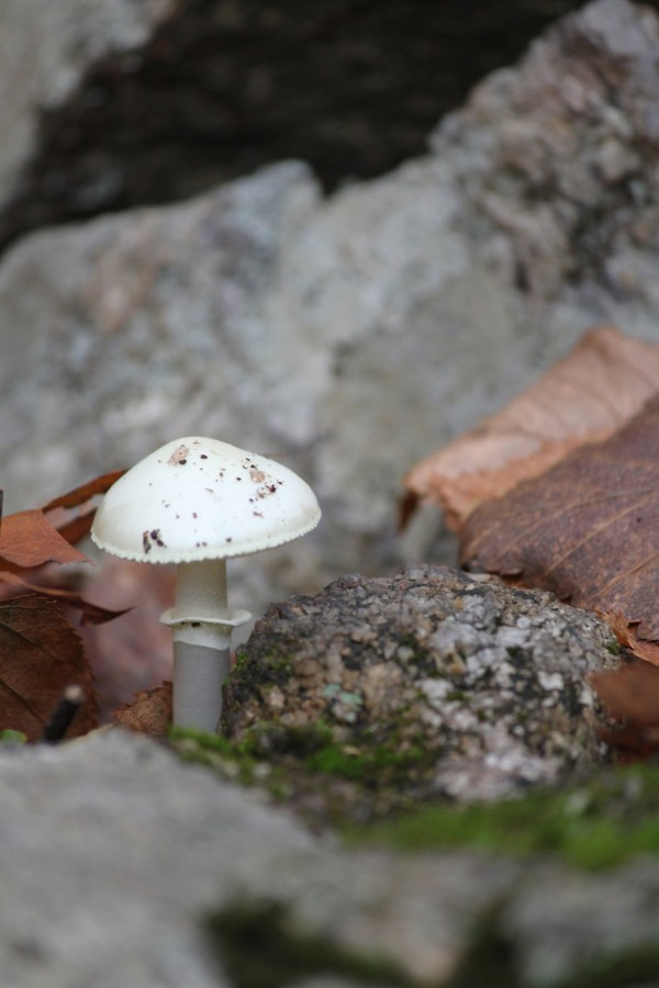 destroying angel, poganka, deadly poisonous mushroom, hiking in  upstate new york, pine meadow lake - october, design squish blog