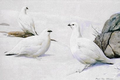 ptarmigans - white mountain quails