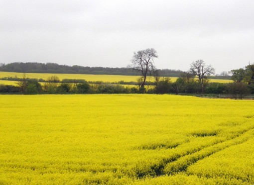 canola field