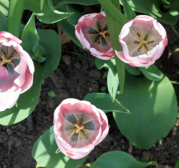 pink tulips, design squish blog