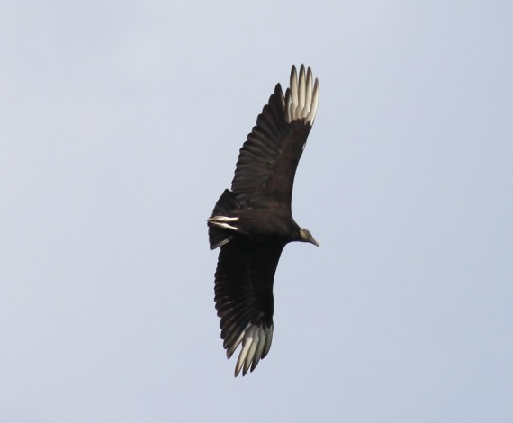 turkey vulture, upstate new york, design squish blog